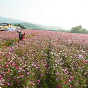 北部エリア 三光コスモス園(10月23日2015年 (5))